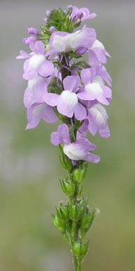 image of Nuttallanthus canadensis, Oldfield Toadflax, Common Toadflax