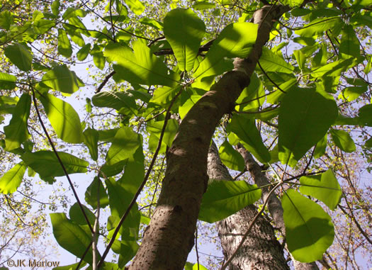 image of Magnolia macrophylla, Bigleaf Magnolia, Large-leaved Magnolia, Umbrella Tree