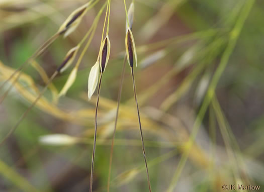 awn: Piptochaetium avenaceum, Green Needlegrass, Blackseed Needlegrass, Eastern Needlegrass, Black Oatgrass