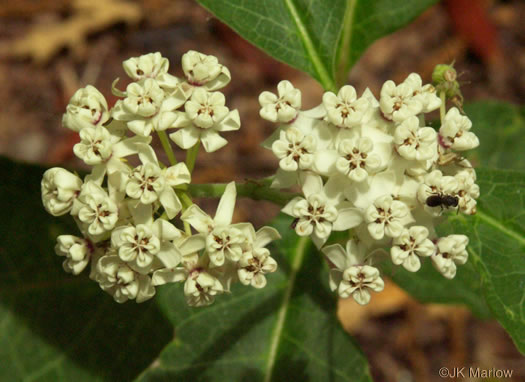 flower of Asclepias variegata, White Milkweed, Red-ring Milkweed