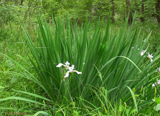 image of Iris virginica var. virginica, Southern Blue Flag