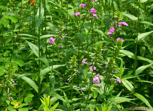 image of Phlox maculata ssp. pyramidalis, Leafy Meadow Phlox, Wild Sweet William