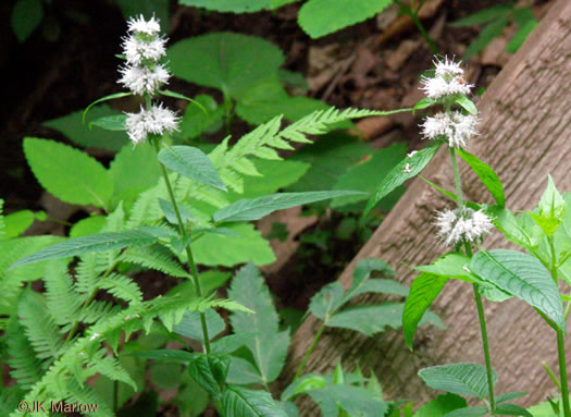 image of Blephilia hirsuta, Hairy Woodmint