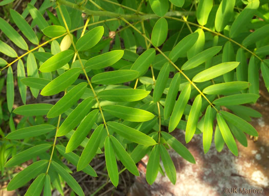 pinnately compound leaves of forbs: Senna hebecarpa, Senna hebecarpa, Cassia hebecarpa