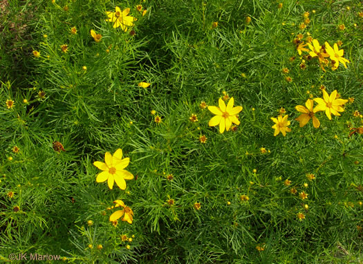image of Coreopsis verticillata, Threadleaf Coreopsis, Cutleaf Tickseed