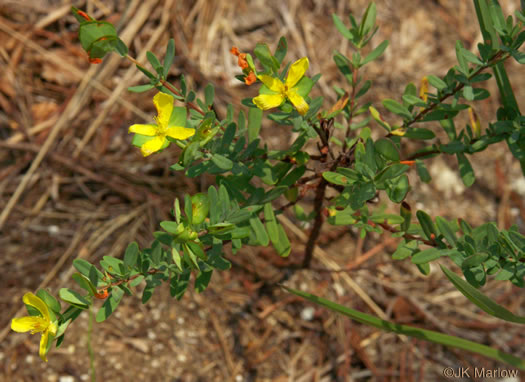 image of Hypericum hypericoides, St. Andrew's Cross