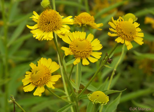 image of Helenium autumnale, Common Sneezeweed