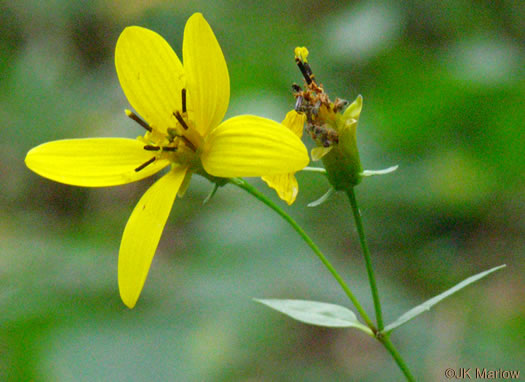 Broad-leaved Tickseed (Coreopsis latifolia)
