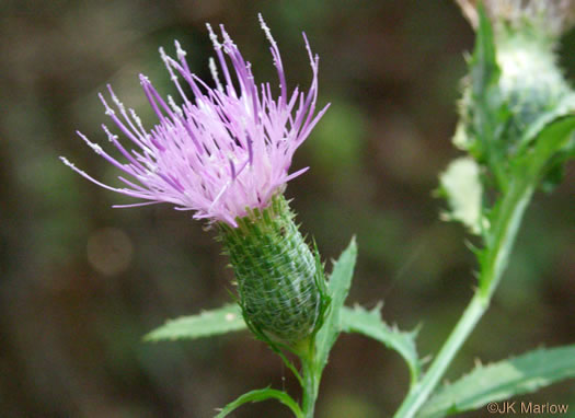 involucral bracts of Thistles: Cirsium altissimum, Cirsium altissimum, Carduus altissimus