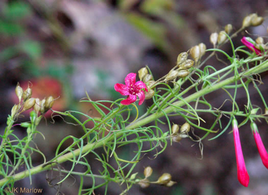 flower of Ipomopsis rubra, Standing-cypress