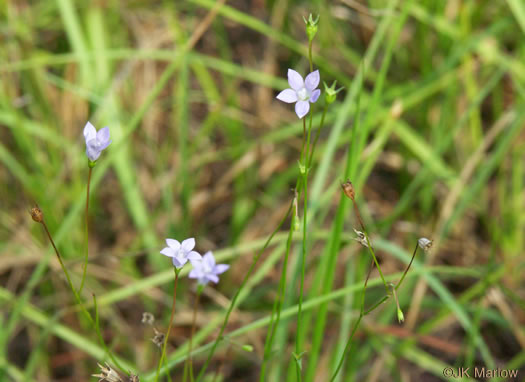 image of Wahlenbergia marginata, Wahlenbergia, Asian Rockbell, Asiatic bellflower, Southern Rockbell