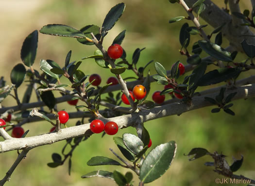 drupe: Ilex vomitoria, Yaupon Holly, Yaupon