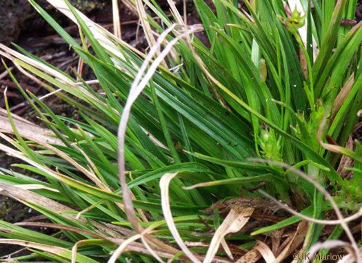 image of Carex umbellata, Parasol Sedge