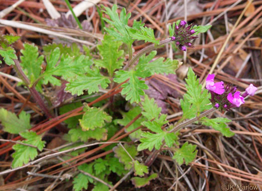 image of Glandularia canadensis, Rose Vervain, Rose Verbena, Creeping Vervain