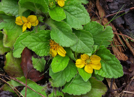 image of Chrysogonum virginianum +, Green-and-gold