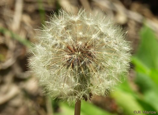 bristles: Taraxacum officinale, Common Dandelion