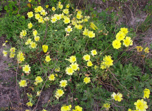 image of Oenothera drummondii ssp. drummondii, Beach Evening Primrose, Drummond's Evening Primrose