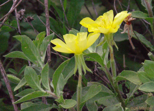 sepals or bracts of Oenothera drummondii, Beach Evening Primrose, Drummond's Evening Primrose