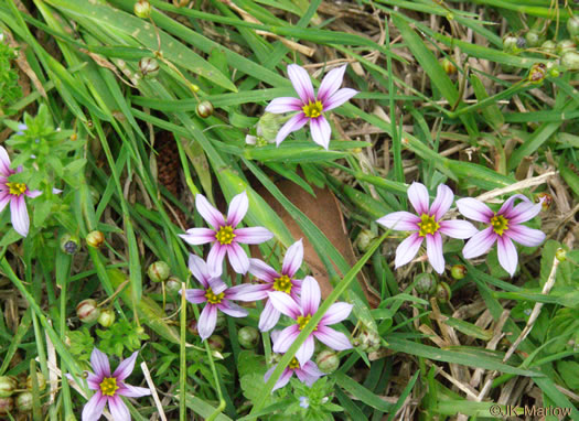 Sisyrinchium rosulatum, Annual Blue-eyed Grass, Lawn Blue-eyed Grass
