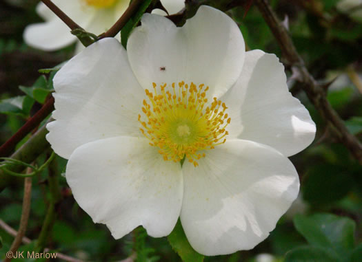 The Cherokee Rose Cherokee Trail Of Tears