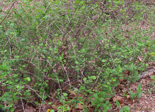 image of Ribes rotundifolium, Roundleaf Gooseberry, Appalachian Gooseberry