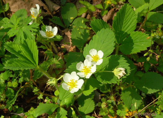image of Fragaria virginiana, Wild Strawberry