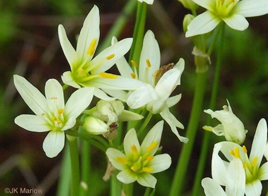 flower of Nothoscordum bivalve, False Garlic, Grace Garlic