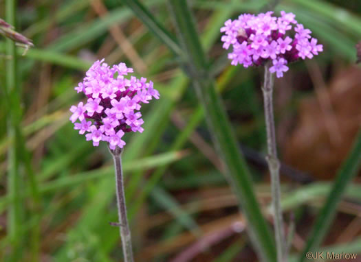 image of Verbena incompta, Purpletop Vervain, Tall Vervain