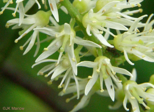 flower of Itea virginica, Virginia Sweetspire, Virginia-willow