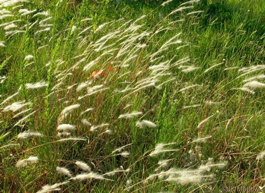 image of Imperata cylindrica, Cogongrass, Bloodroot Grass, Brazilian Satintail