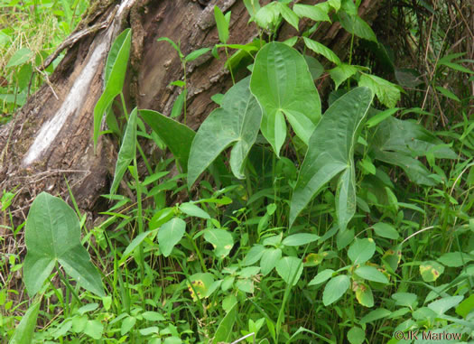 image of Sagittaria latifolia +, Broadleaf Arrowhead, Duck Potato