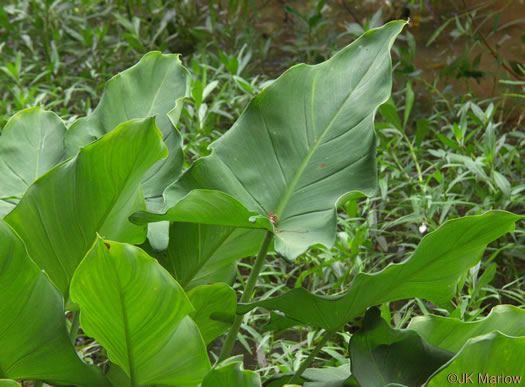 leaves of Arrowhead, Arum, Elephant's Ear and Pickerelweed: Peltandra virginica, Peltandra virginica, Peltandra virginica