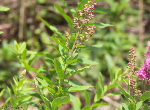 image of Spiraea alba, Narrowleaf Meadowsweet, Pipestem