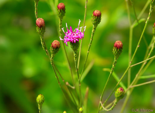 image of Vernonia angustifolia var. angustifolia, Narrowleaf Ironweed, Slender Ironweed