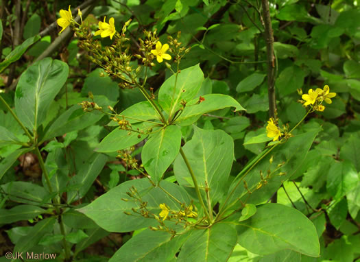 flower of Lysimachia vulgaris, Garden Loosestrife