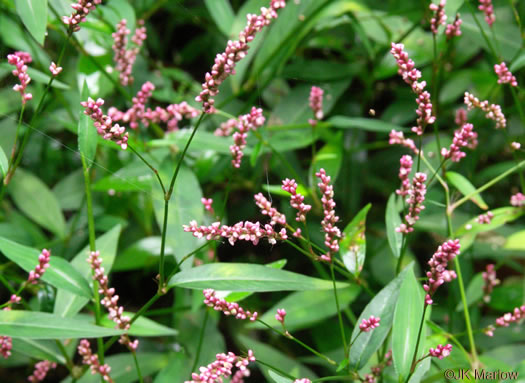flower of Persicaria longiseta, Longbristle Smartweed, Bristly Lady's-thumb, Tufted Knotweed, Oriental Lady's-thumb