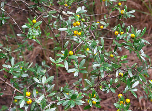 drupe: Ilex myrtifolia, Myrtle Holly, Myrtle-leaved Holly