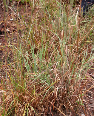 picture of Andropogon virginicus, image of Andropogon capillipes