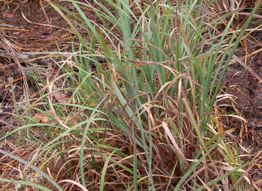 glaucous: Andropogon capillipes, Andropogon capillipes, Andropogon virginicus