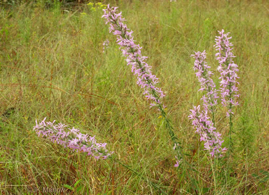 image of Liatris elegans var. elegans, Common Elegant Blazing-star