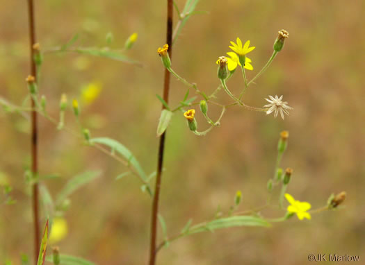image of Croptilon divaricatum, Scratch-daisy, Goldenweed, Slender Scratch-daisy