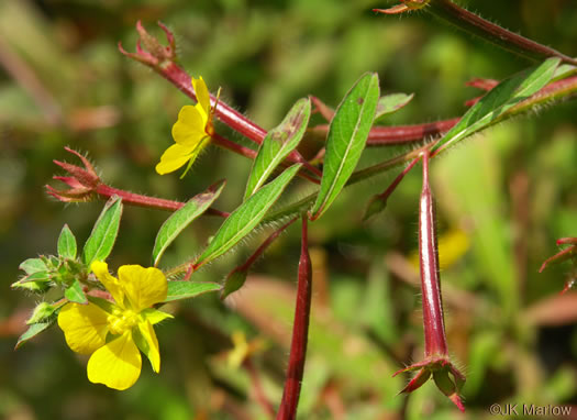 flower of Ludwigia leptocarpa, Water-willow, Primrose Willow
