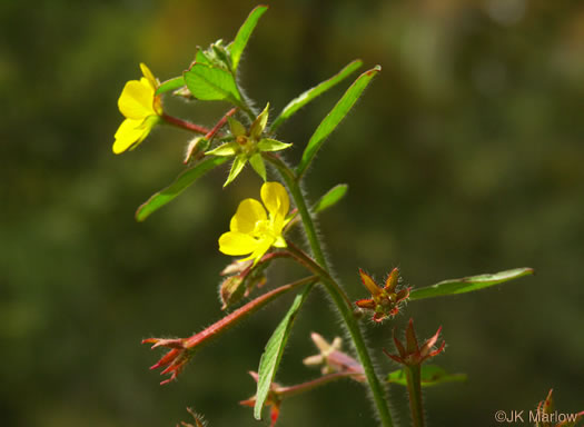 image of Ludwigia leptocarpa, Water-willow, Primrose Willow
