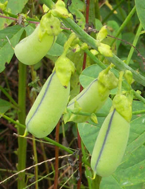 image of Crotalaria spectabilis, Showy Rattlebox