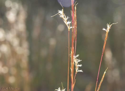 spikes: Schizachyrium scoparium var. scoparium, Little Bluestem