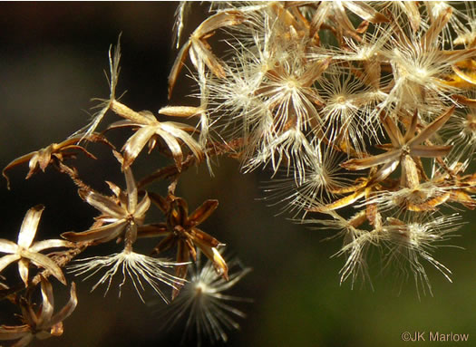 pappus: Solidago odora, Sweet Goldenrod, Licorice Goldenrod, Fragrant Goldenrod