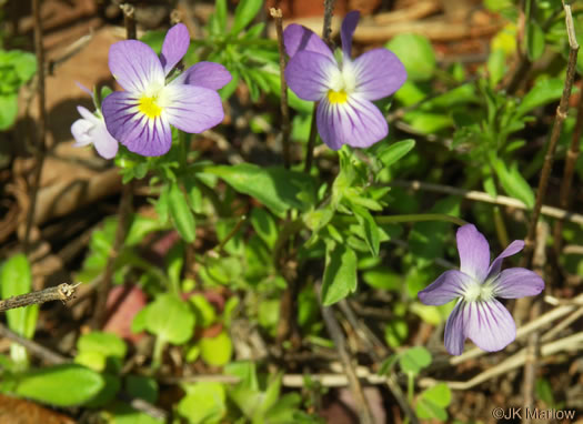 image of Viola bicolor, Johnny-jump-up, Wild Pansy, Field Pansy