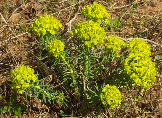 image of Euphorbia cyparissias, Cypress Spurge, Graveyard Spurge