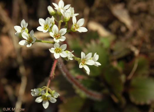 spatulate: Micranthes virginiensis, Early Saxifrage