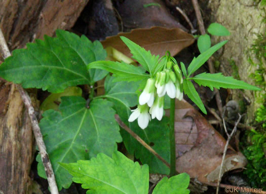 leaves of Toothwort species: Cardamine angustata, Cardamine angustata, Cardamine angustata var. angustata